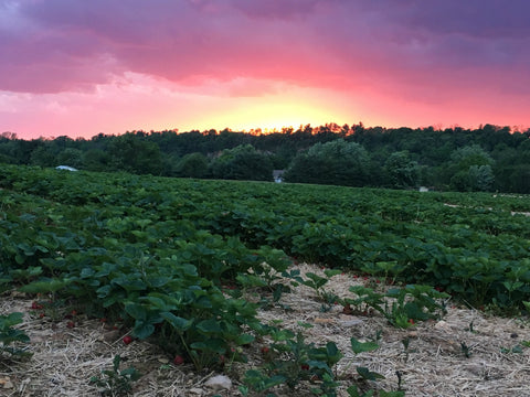 Strawberry field at sunset