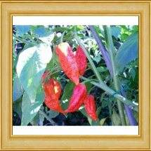 Naga Morich Hot Pepper. This is kin to the Naga Viper. What is the Worlds Hottest Pepper?