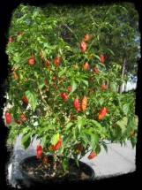 Bhut Jolokia Chili or Ghost Pepper