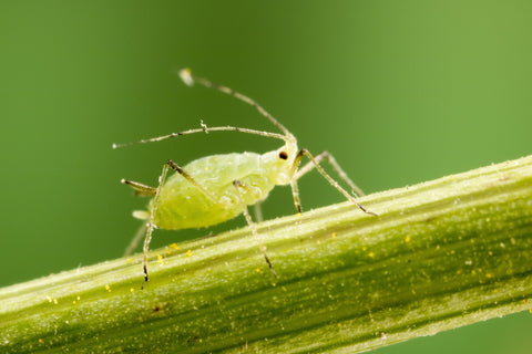 how to kill aphids on plants
