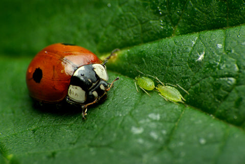 Ladybugs are what kills pests, aphids, mites