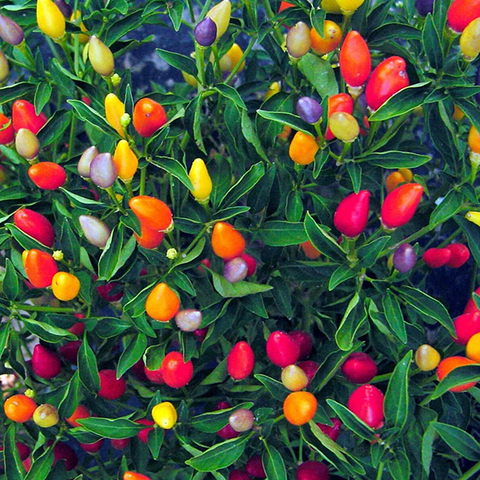 chinese 5 color pepper plant