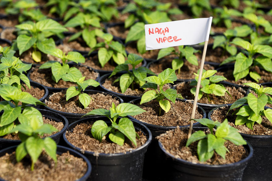 Naga Viper Hot Pepper Seedling Plant - Pepper Joe's