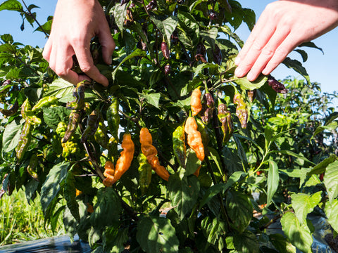 Pepper Joe's tips on harvesting, featuring yellow scotch bonnets
