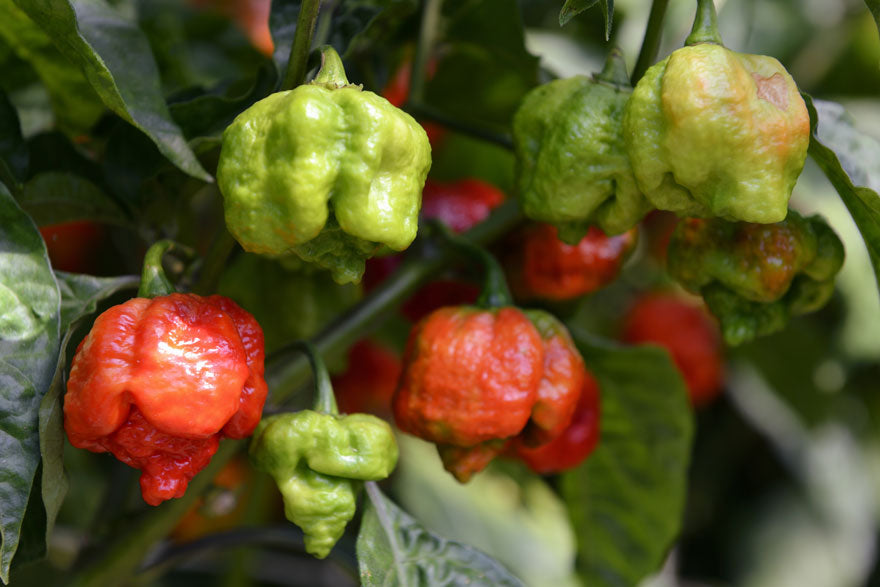 Carolina Reaper Hot Pepper - Pepper Joe's