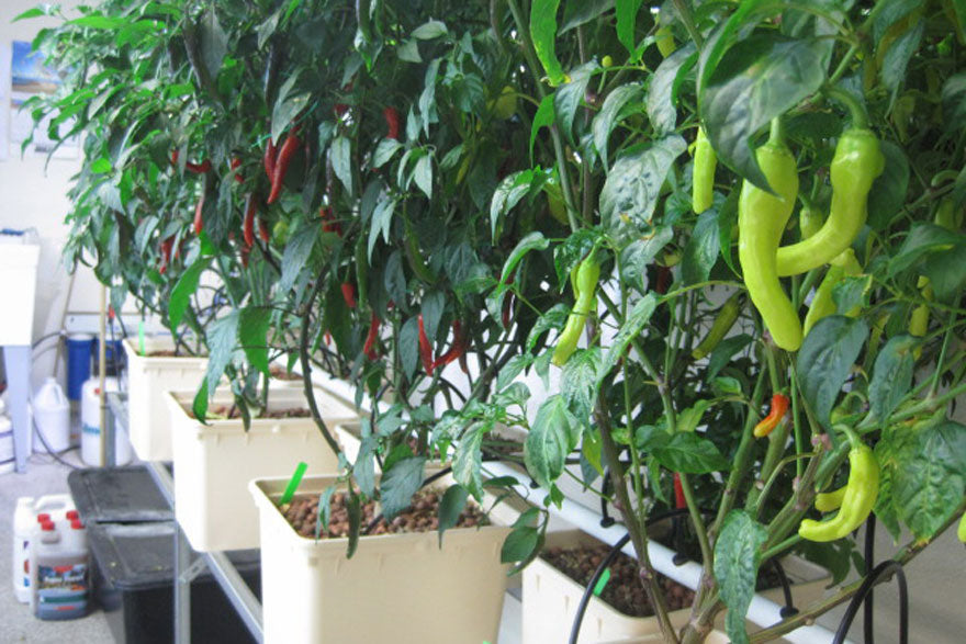 Hydroponic Hot Pepper Gardening - Pepper Joe's