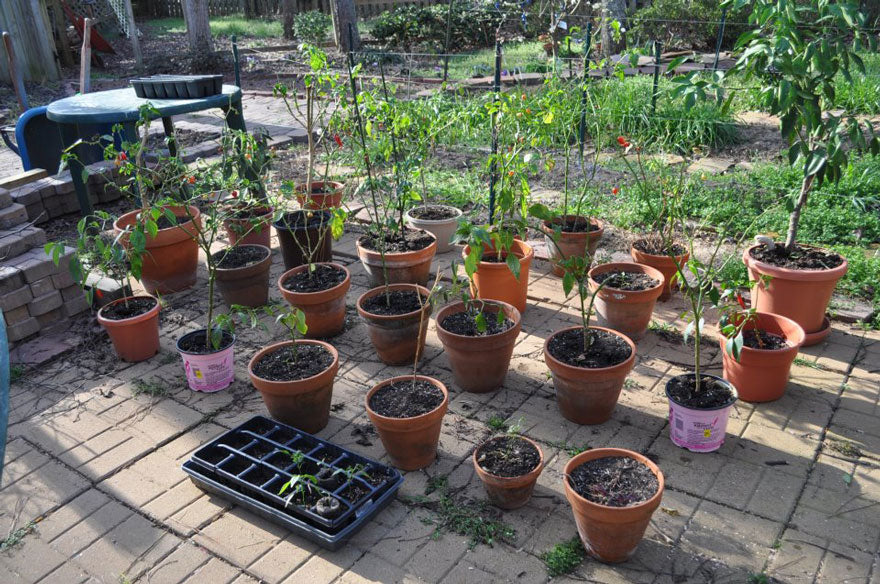 Over-Wintering Hot Pepper Plants - Customer Robert Shaver - Pepper Joe's