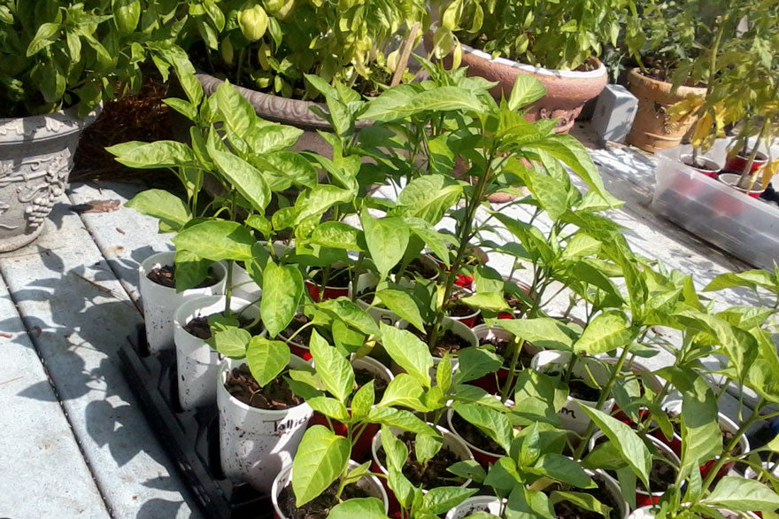 Transplanting Sweet Peppers - Pepper Joe's