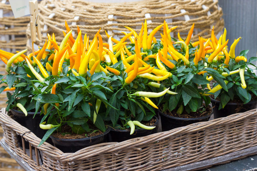 Yellow Hot Pepper Plants - Pepper Joe's