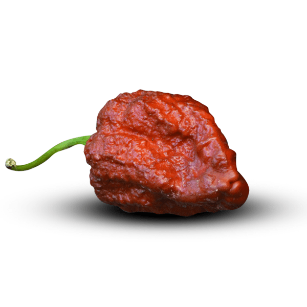 Single Apocalypse Scorpion Chocolate pepper with green stem