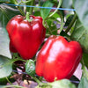Autumn Bell Sweet Pepper Seeds