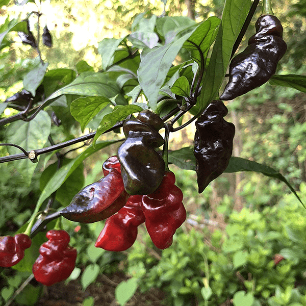 Bhut Jolokia Neyde Black on plant omnicolor black and red pepper pods