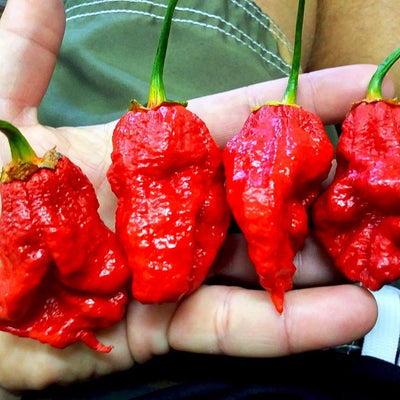 Bhutlah Bubblegum 7 Pot Red Seeds | Pepper Joe's