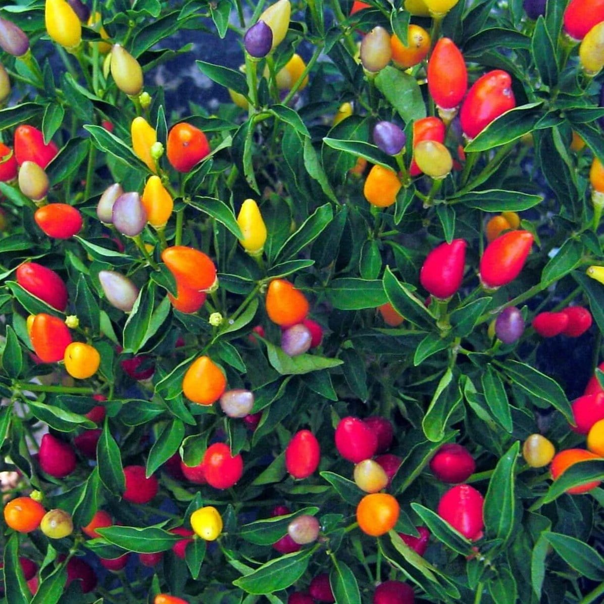 chinese 5 color pepper scoville varies, ranging from 5,000 to 50,000