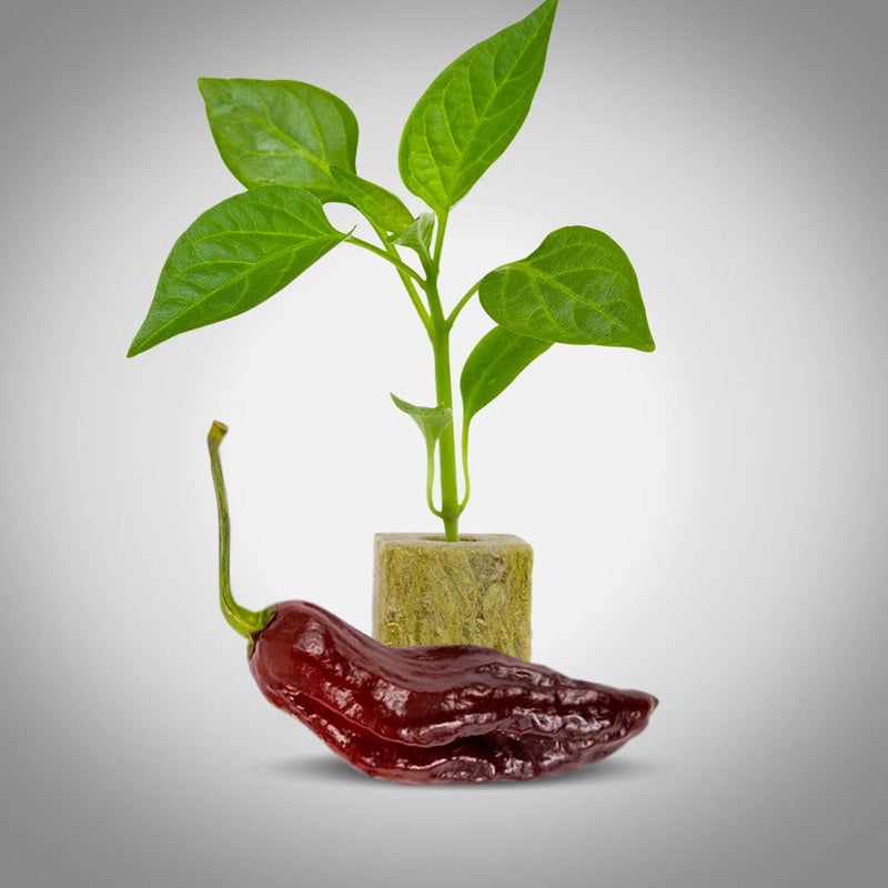 Chocolate Ghost Pepper Plants | Chocolate Ghost Pepper Seedlings