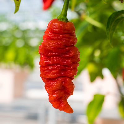 Death Spiral Pepper Seeds