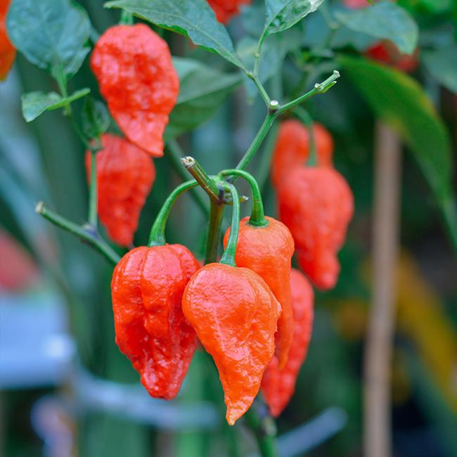 Ghost Pepper Seeds - Bhut Jolokia Pepper Seeds