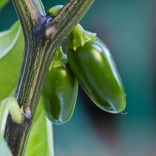pepper joe's jalapeno pepper seeds