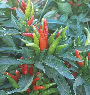 Thai Hot Pepper Seeds