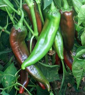 NuMex Joe E Parker Pepper Seeds