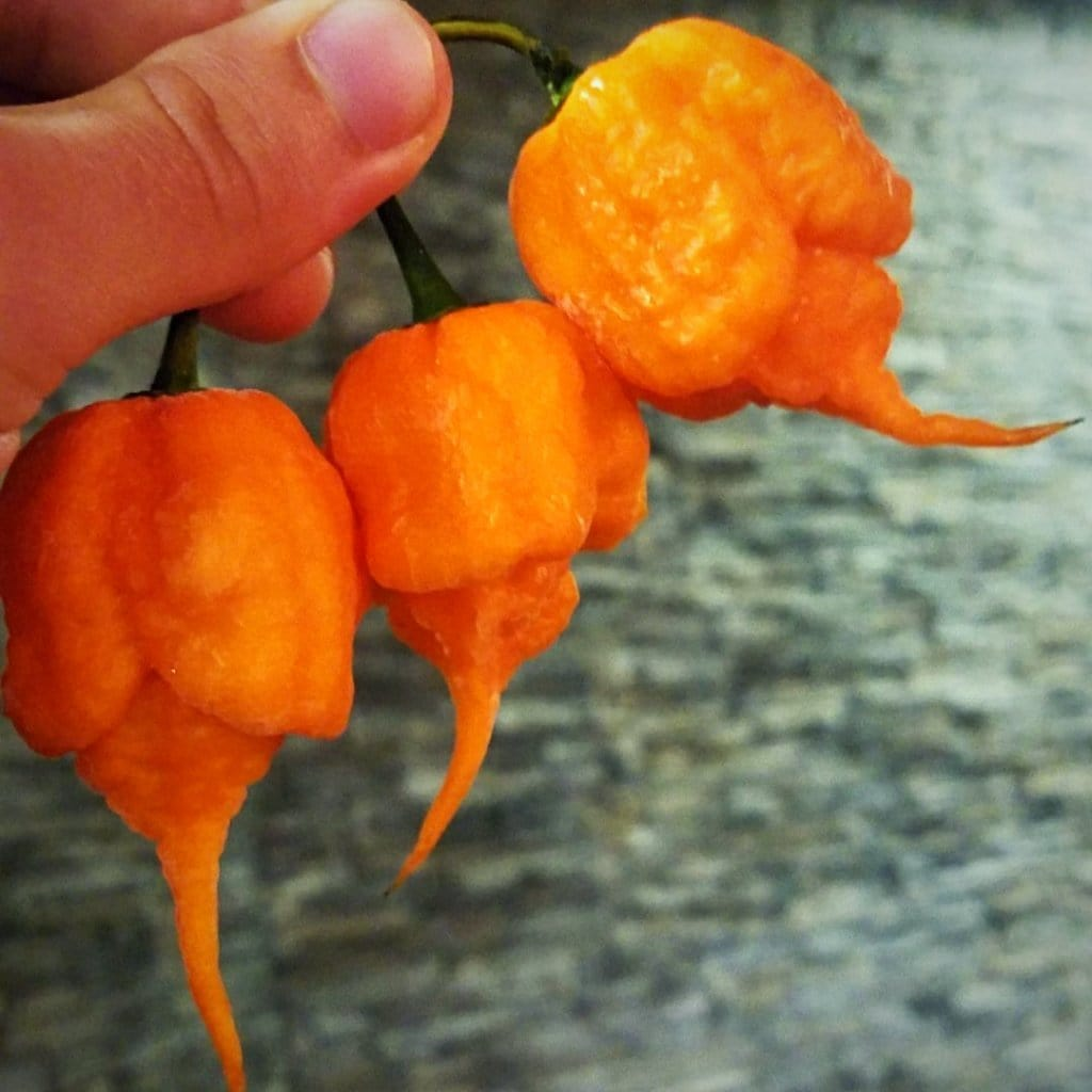 Pepper Joe's | Hot Pepper Seeds