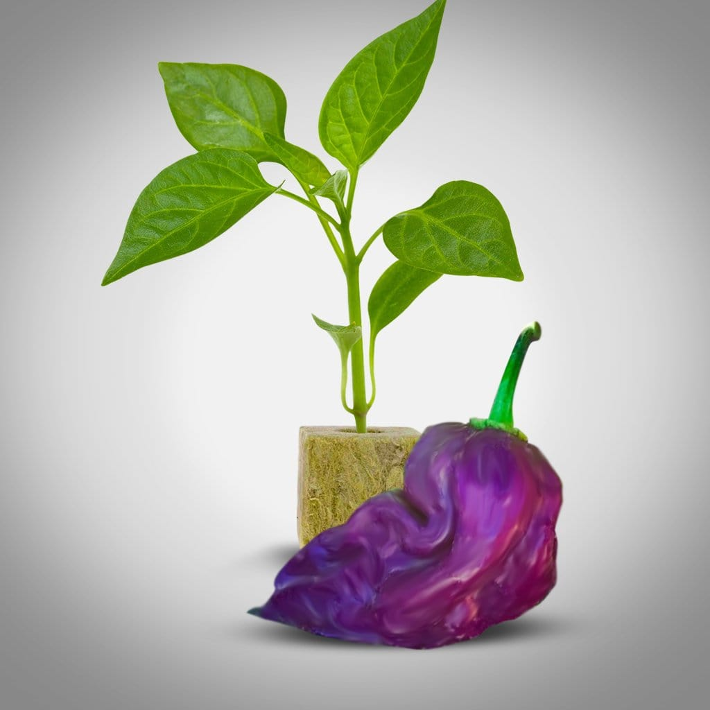 Purple Ghost Bhut Jolokia Pepper Plants | Purple Ghost Bhut Jolokia Pepper Seedlings
