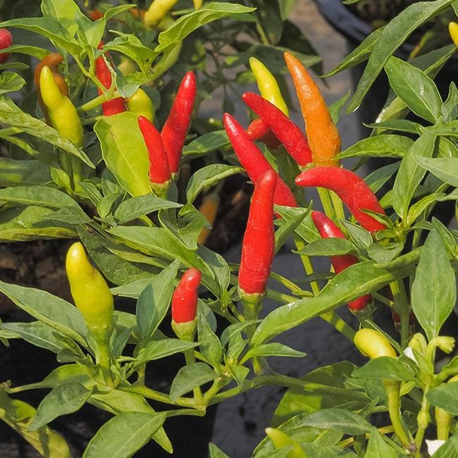 Pepper Joe's Tabasco pepper seeds