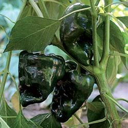 Ancho Gigantea Pepper Seeds