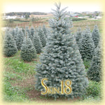 Idaho Blue Spruce Essential Oil Single
