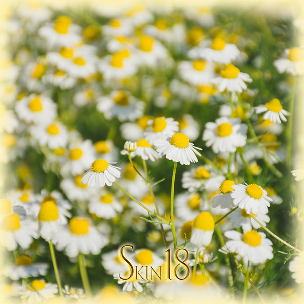Roman Chamomile Essential Oil Single