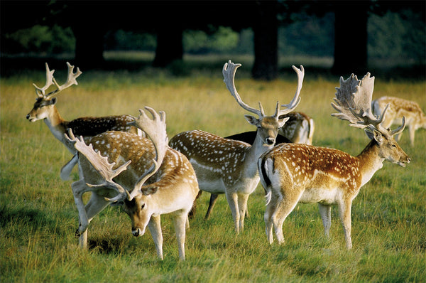 Fallow Deer in Sidmouth Wood - Richmond Park - Surrey