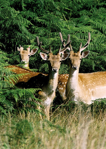 Fallow Deer in Richmond Park - Surrey