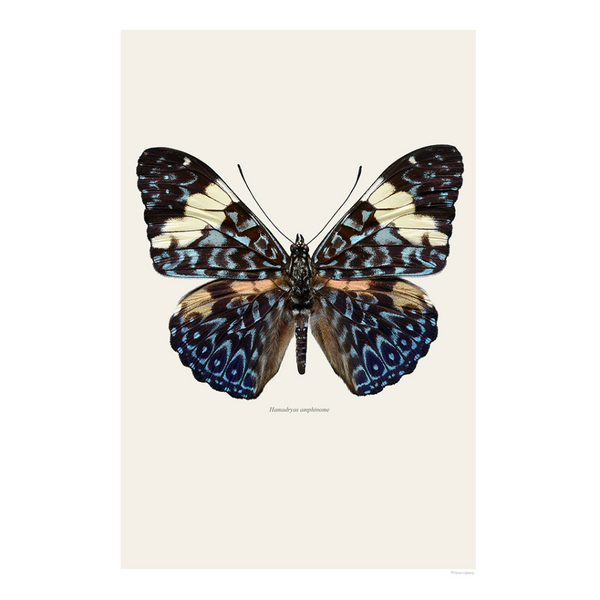 BUTTERFLY - HAMADRYAS AMPHINOME