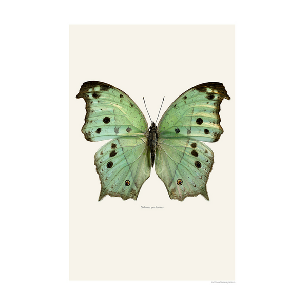 LILJEBERGS BUTTERFLY - SALAMIS PARHASSUS GREEN