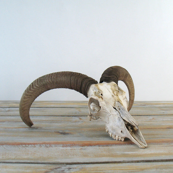 Ram Skull with Horns