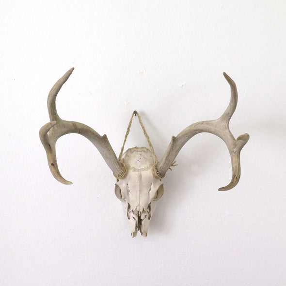 Old Deer Skull and Antlers