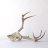 Old Deer Skull and Antlers side view