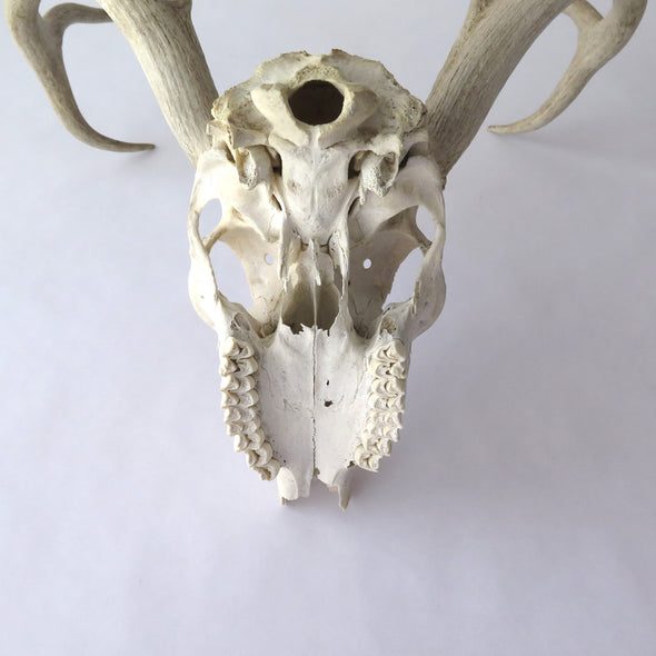 Old Deer Skull and Antlers jaw
