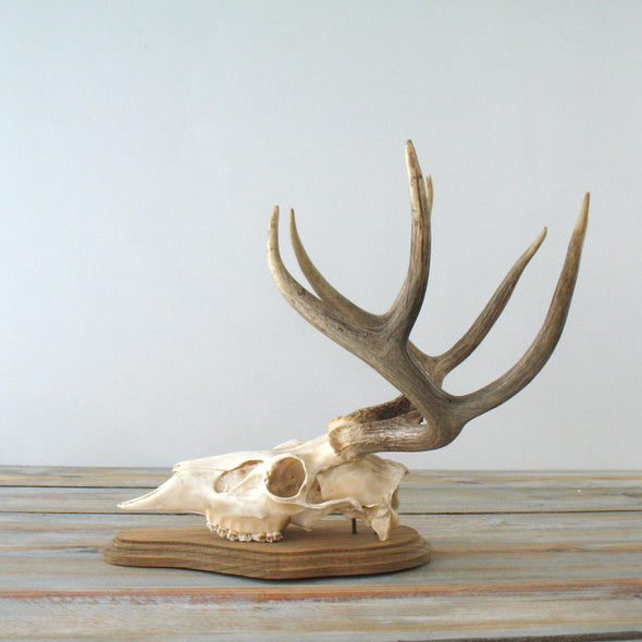 White Tail Deer European Mount