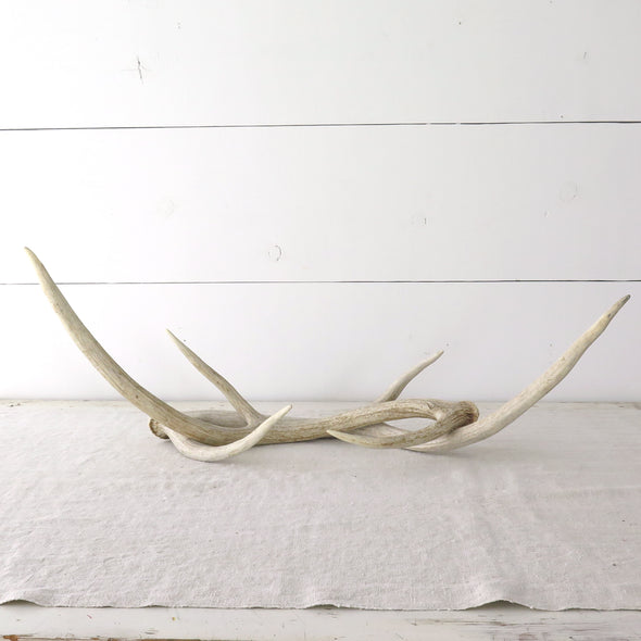 Weathered Axis Antlers