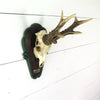 Vintage German Roe Deer Skull Mount