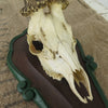 Vintage German Roe Deer Skull Mount close up