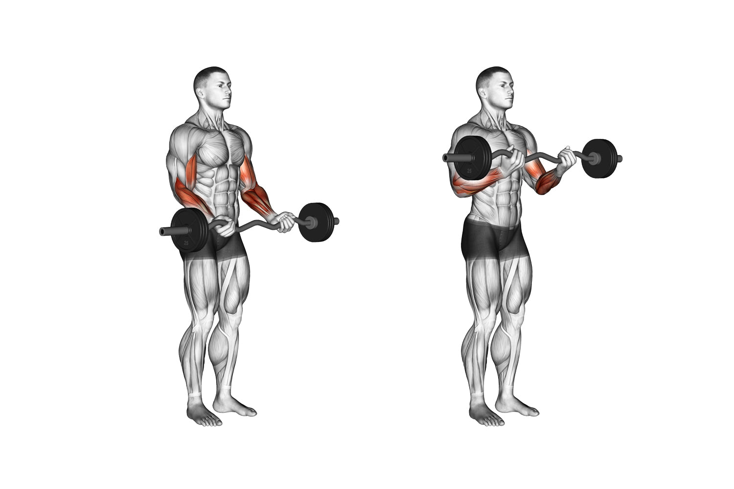 Standing bicep curl with EZ Bar exercise