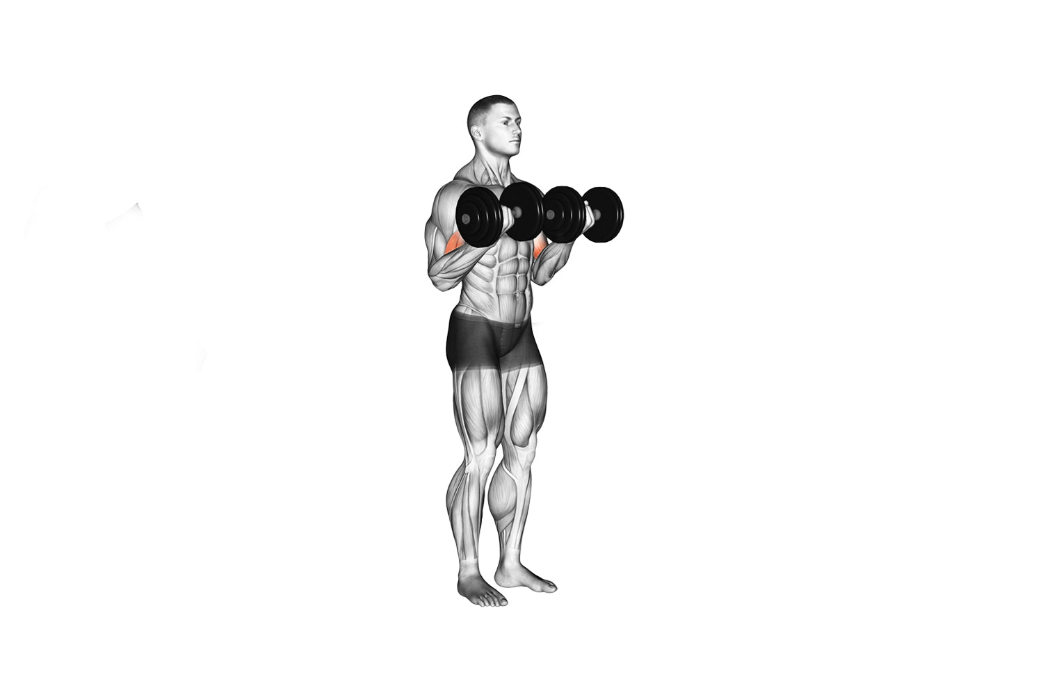 Standing dumbbell bicep curl exercise