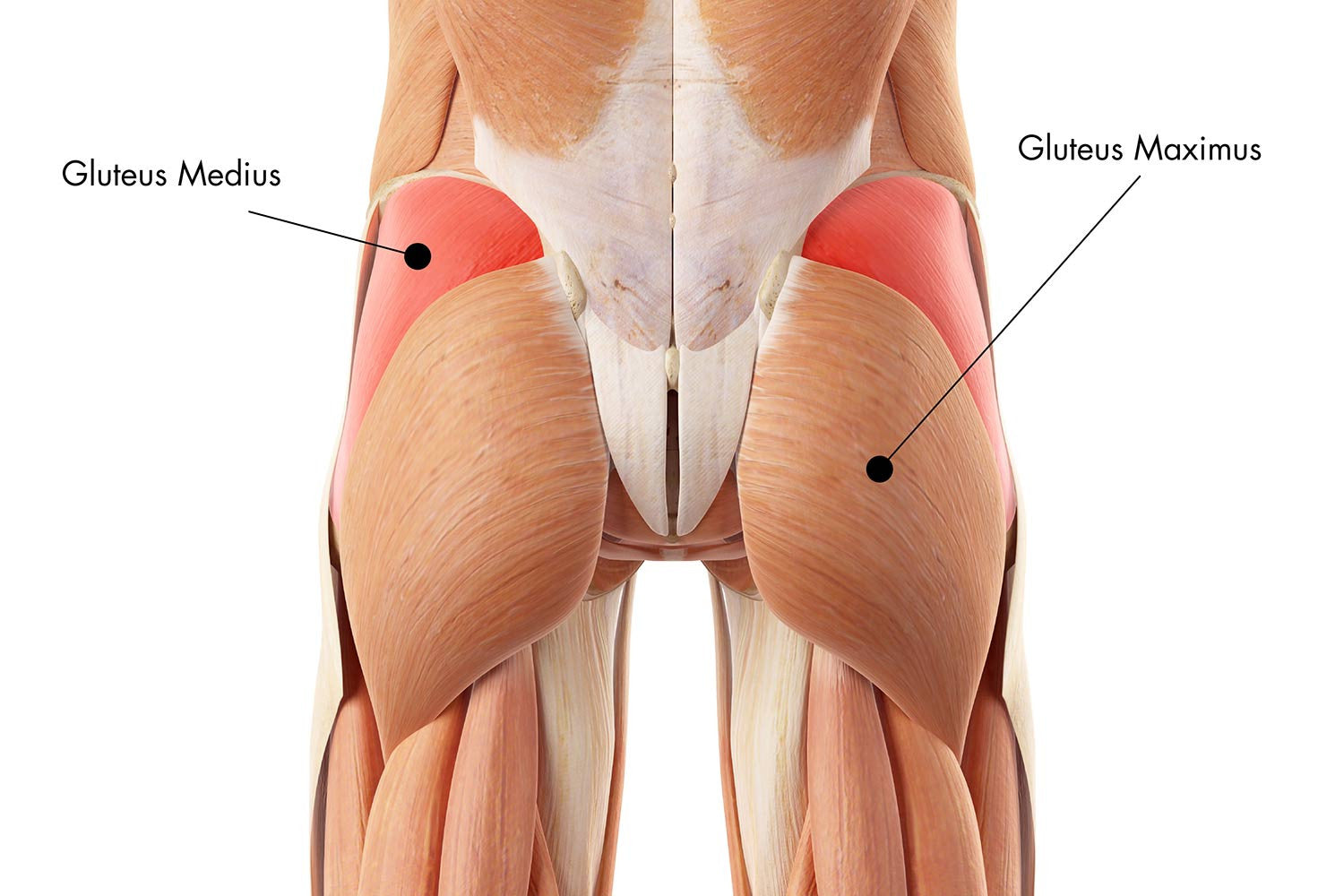 Diagram of gluteus medius muscle structure