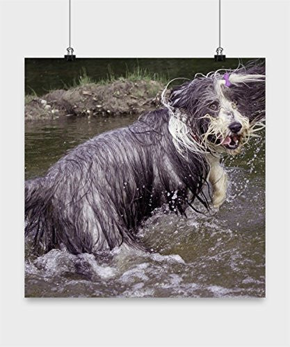 Funny Bearded Collie Poster - Playing In Water - Dog Lover Gifts - Unique Gifts Idea - Bearded Collie Lover Gift - Dogs Make Me Happy