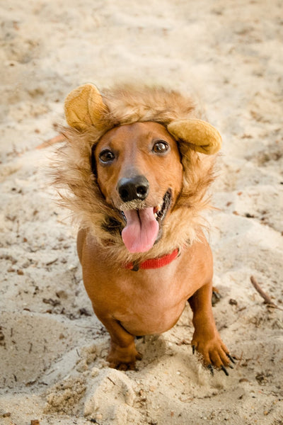 Lion Mane costume for small dogs - Dogs Make Me Happy - 1