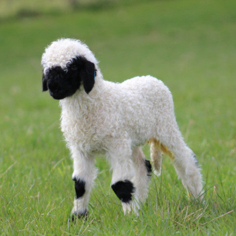 Blacknose Valais Sheep