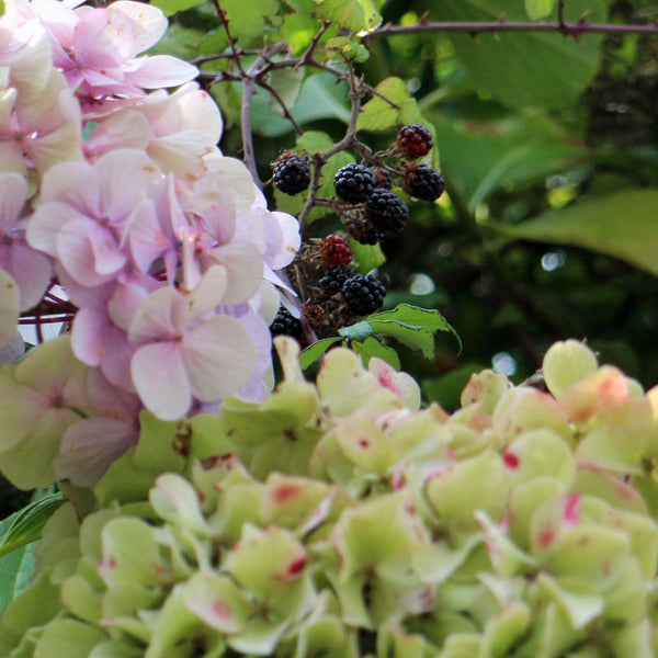 Brambles and hydrangeas - inspiredbyseasons_autumn Instagram project