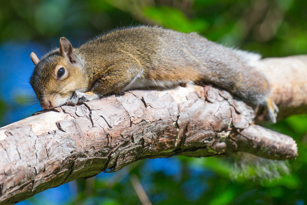 Say No to Poisoning Squirrels in Attics & Crawlspaces